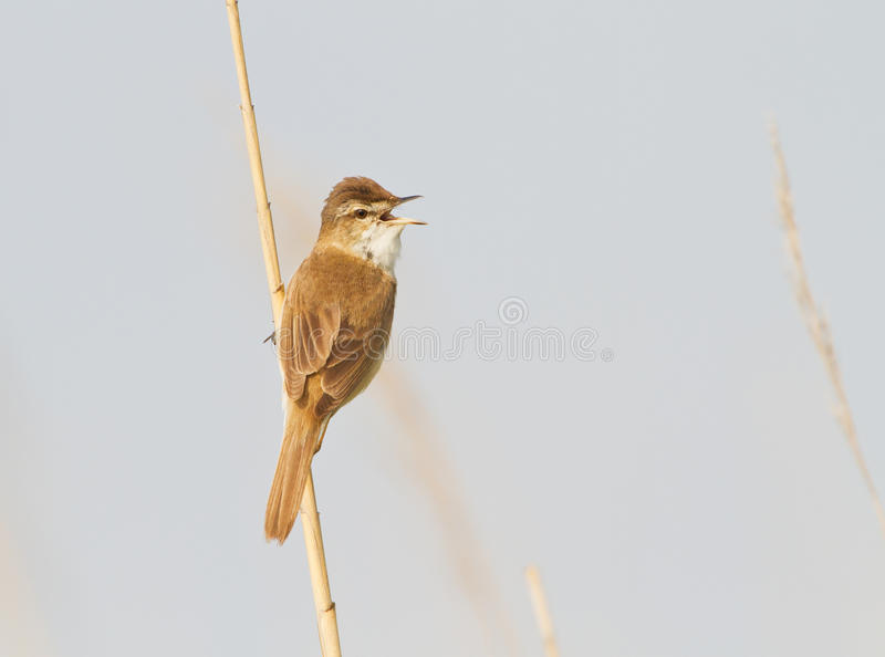 A Paddyfield warbler singing royalty free stock images