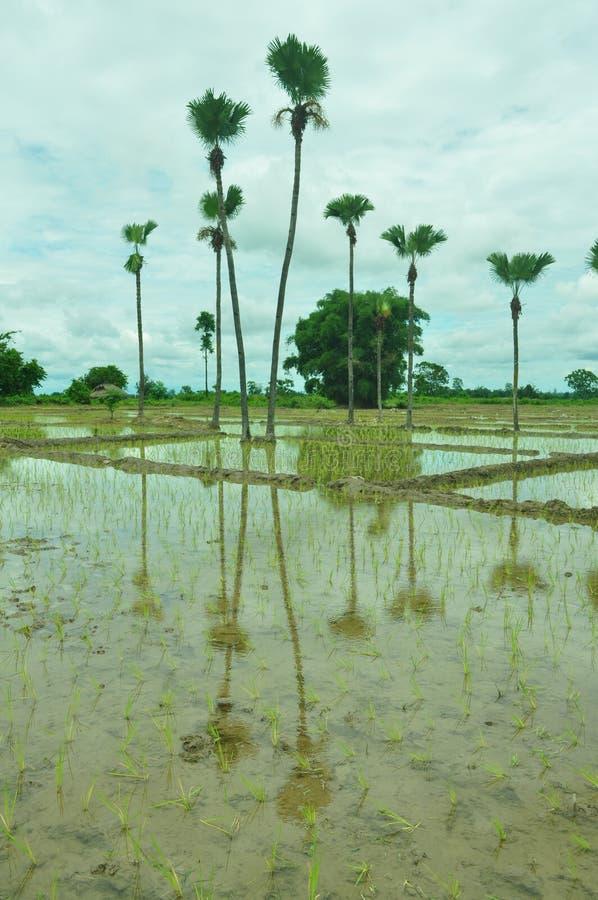 Paddysämlinge verpflanzt stockfoto