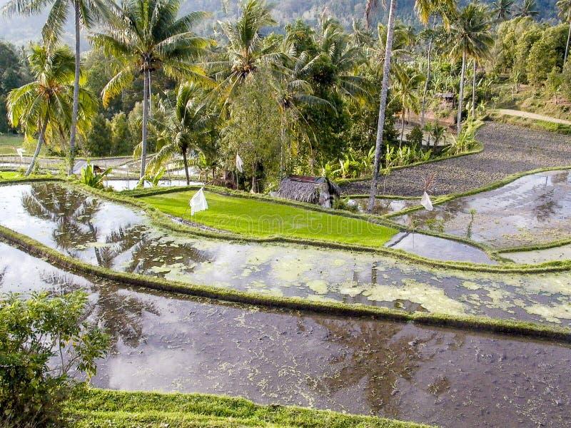 Paddys del arroz con la irrigación del agua en Bali foto de archivo