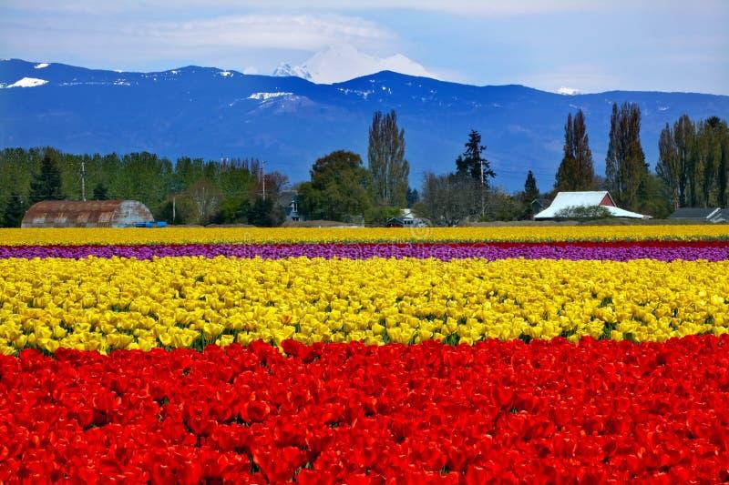 Padeiro amarelo vermelho Skagit Washington do Mt dos Tulips fotos de stock royalty free