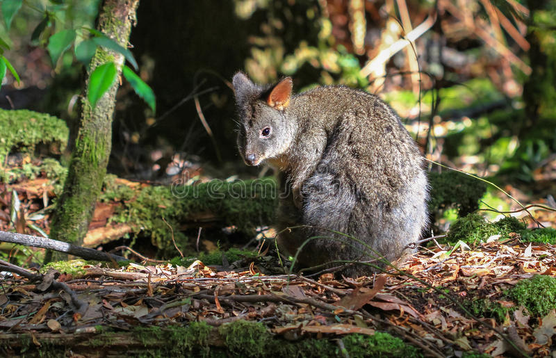 Pademelon tasmaniano foto de stock royalty free