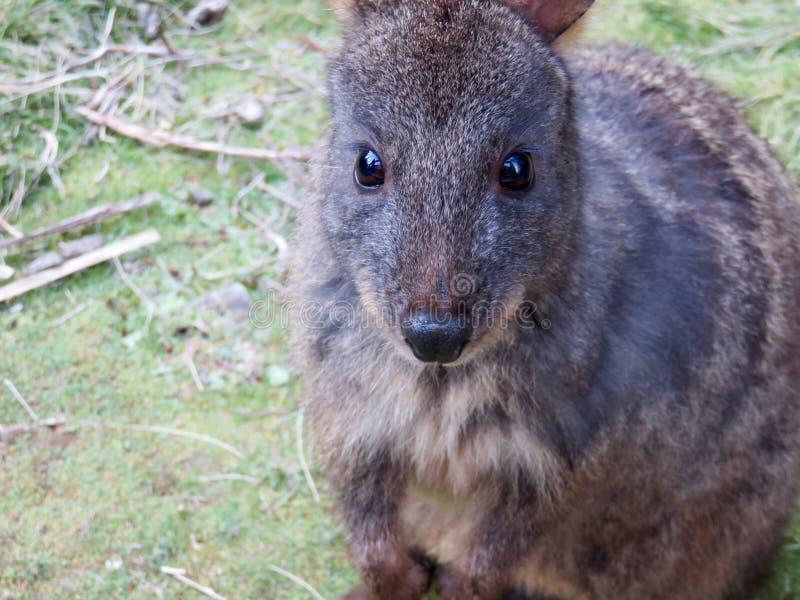 Pademelon tasmaniano australiano imagem de stock