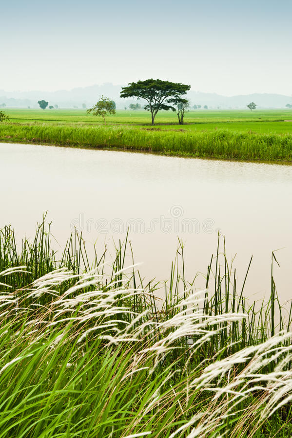 Free Padi Field And Water Canal Stock Image - 25899941
