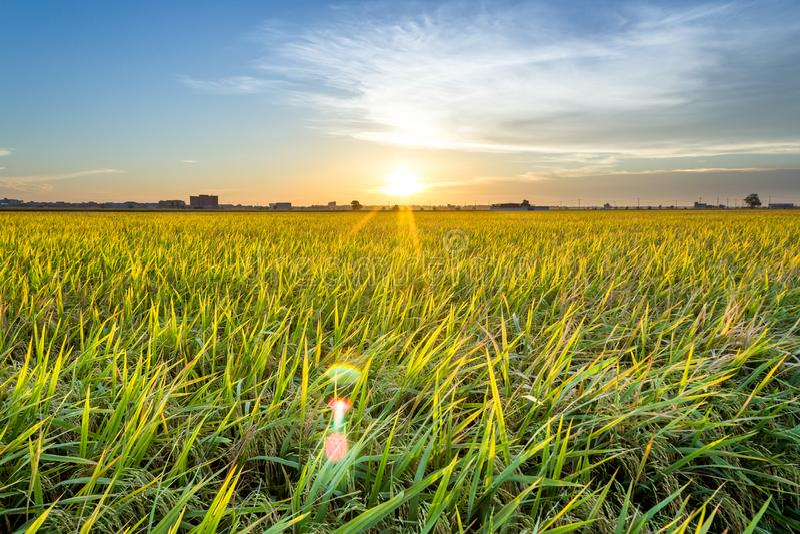 Padi Field Sunset fotos de archivo