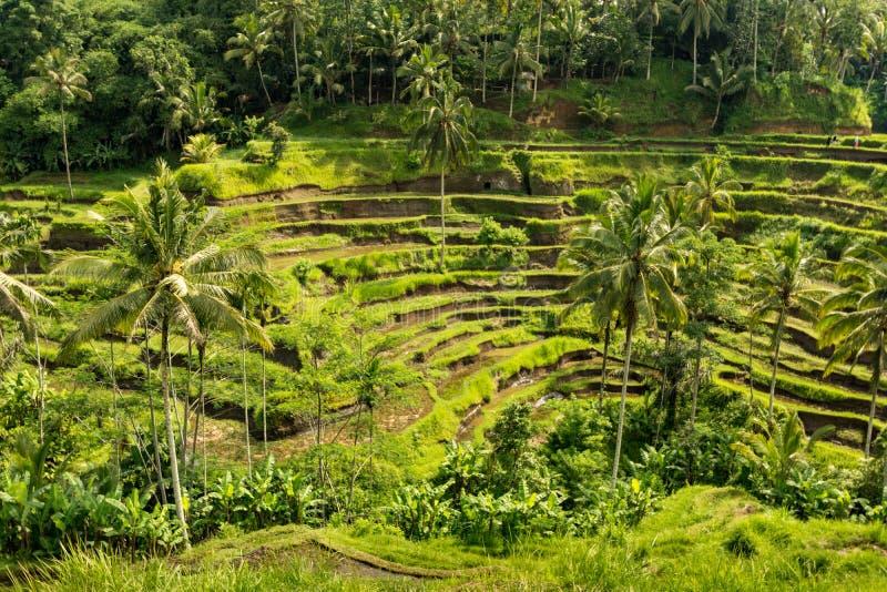 Padi Terrace, Bali, Indonesia - piantagione locale del stratificato immagini stock