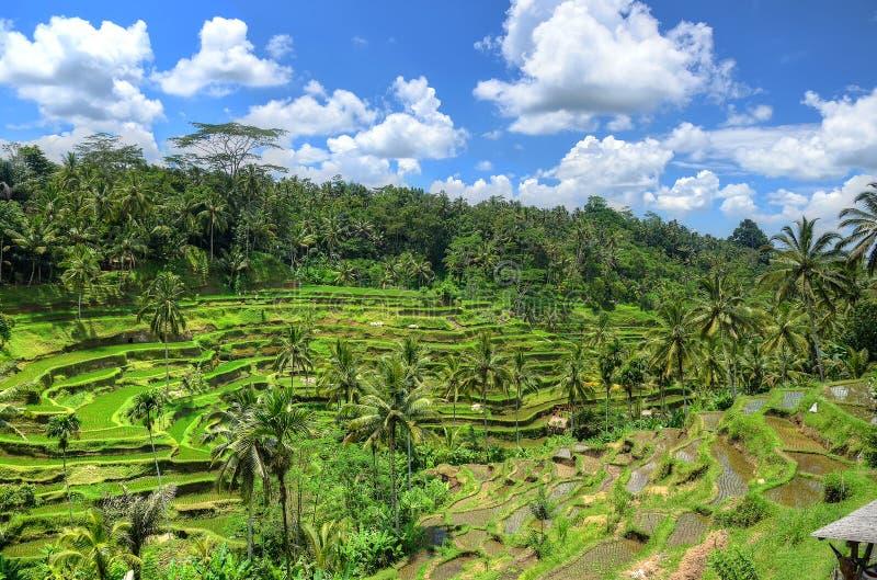Padi Terrace Bali Indonesia Plantación Local De La