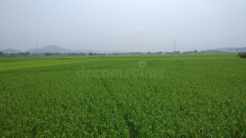 Padie, rijst, Zaailingen, ongepelde rijsten royalty-vrije stock afbeelding