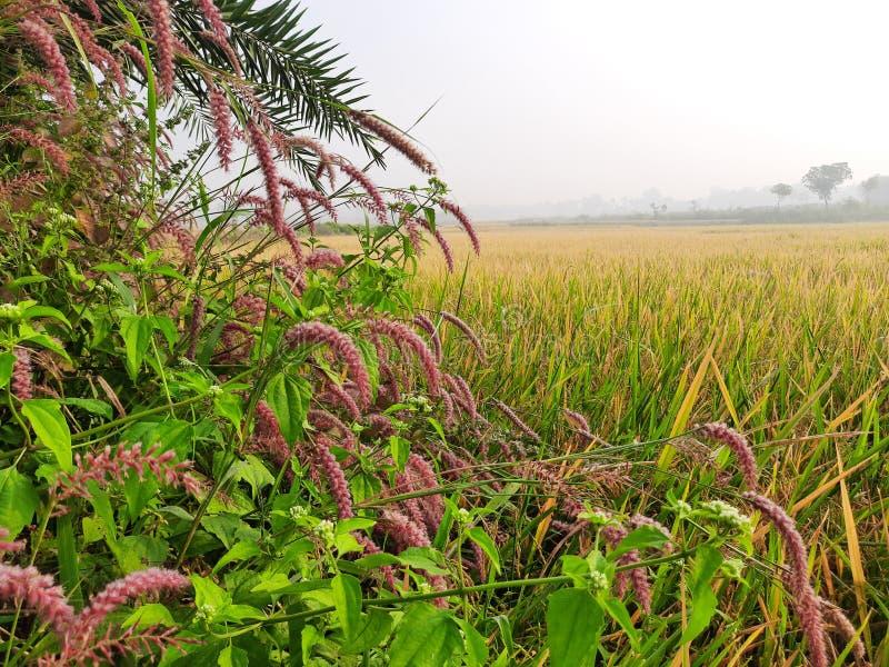 Padie-teelt in India Klaar padie Populairste graan uit India Rijst is gemaakt van padie royalty-vrije stock foto's
