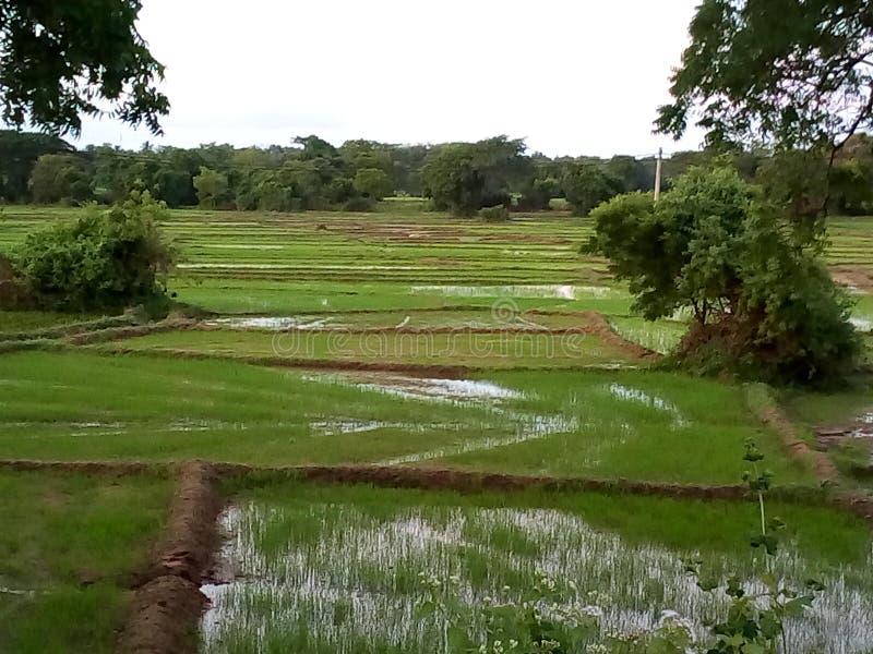 Padie-veld met padie royalty-vrije stock afbeelding