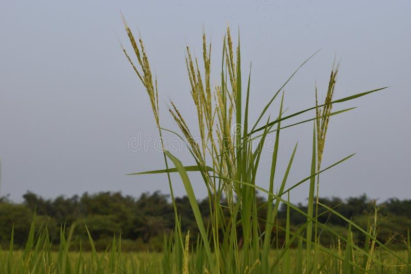 Padie-vermogen in india of natuurlijke padie in de buitenlucht stock foto's