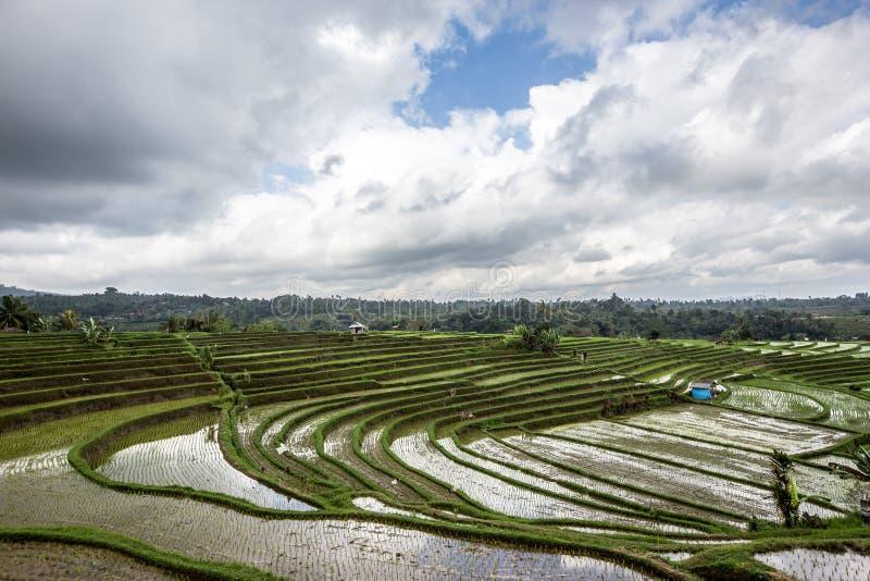 Padiegebied die semi-aquatische rijst kweken stock foto