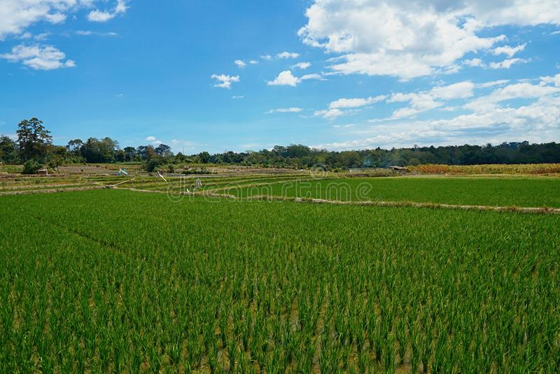 Padiegebied in Medan Indonesië royalty-vrije stock afbeeldingen