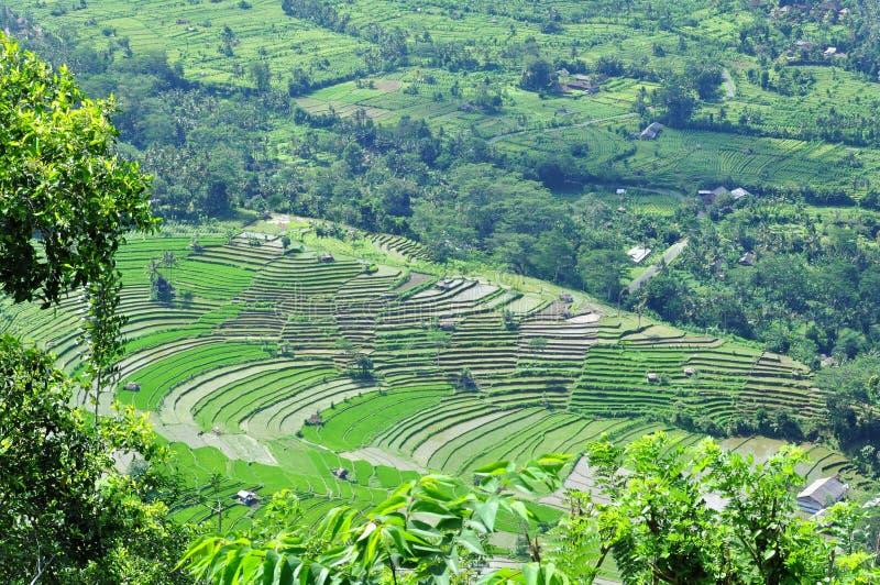 Padieveld in Bali royalty-vrije stock fotografie