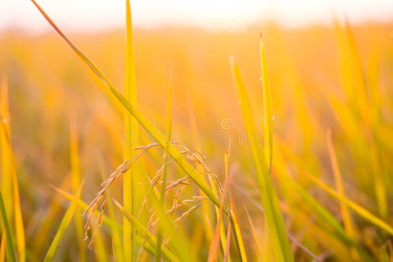 Padieveld gouden aanplanting met lichte zonsondergang op Achtergrond royalty-vrije stock foto