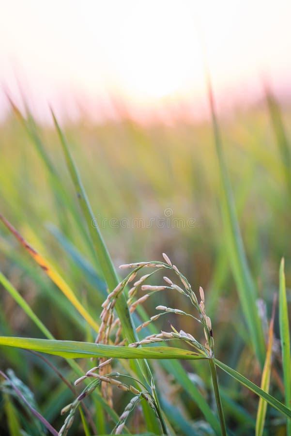 Padieveld gouden aanplanting met lichte zonsondergang op Achtergrond royalty-vrije stock fotografie