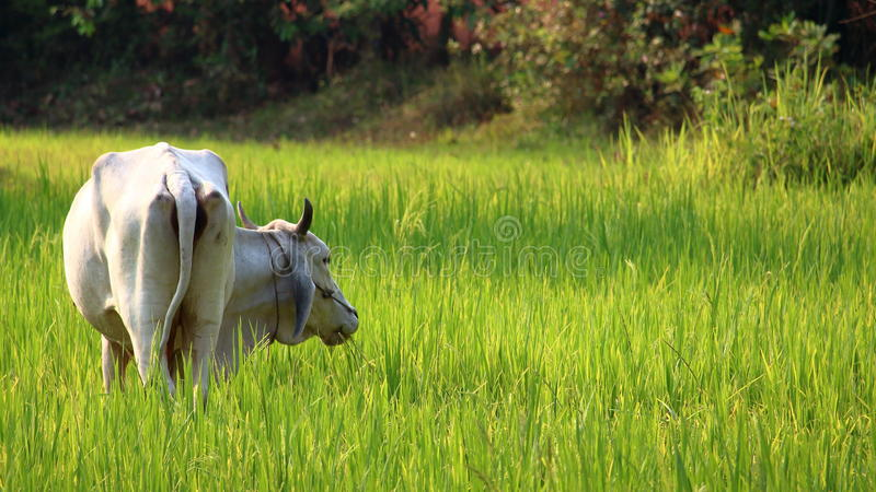 Padieveld, Indochina royalty-vrije stock fotografie