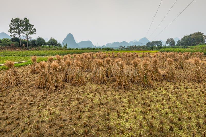 Padieveld na het oogsten en rijststrobalen stock afbeelding