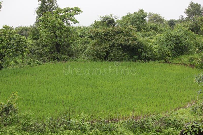 Padieveld, Sahyadri, Maharashtra, India stock afbeeldingen