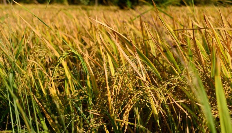 Padieveld - Sri Lanka stock afbeeldingen