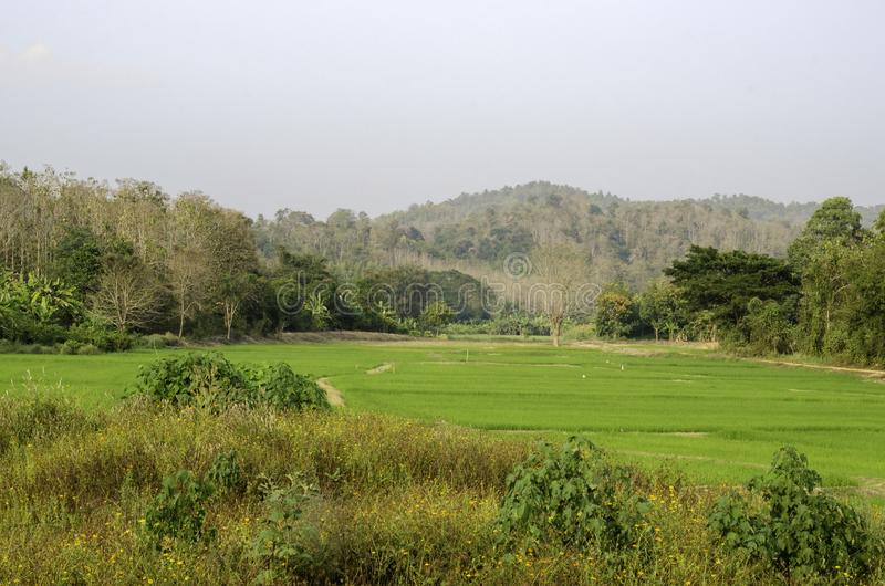 Padieveld in upcountry, Thailand royalty-vrije stock foto