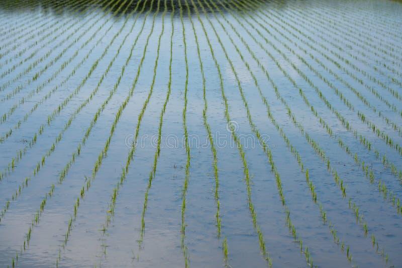 Padieveld of padieveld vlak na het overplanten van rijstzaailingen in Chiba, Japan stock afbeelding