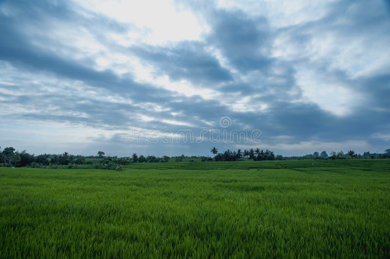 Padievelden in Bali stock afbeelding