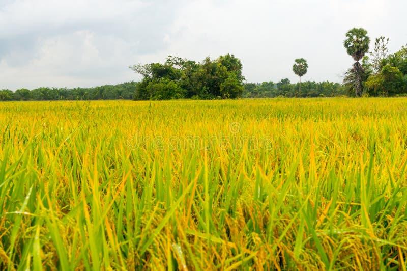 Padievelden of gele padieveldenstelen van rijst stock foto