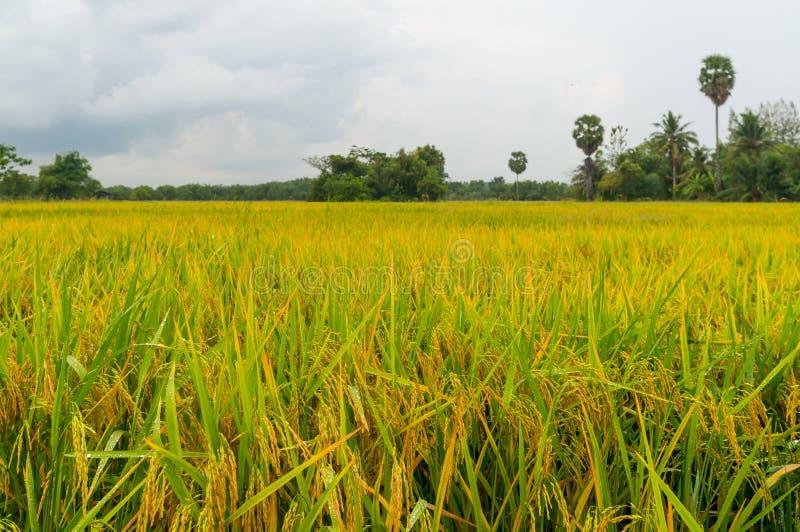 Padievelden of gele padieveldenstelen van rijst stock fotografie