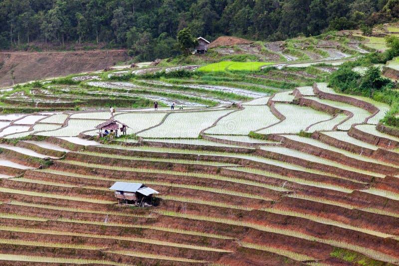 Padievelden op terrasvormig in Chiang Mai, Thailand stock afbeeldingen