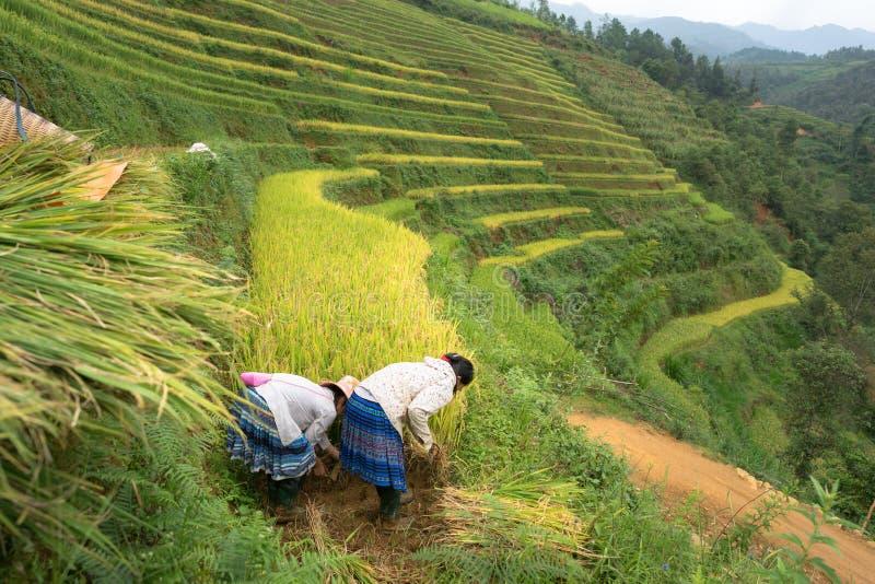 Padievelden op terrasvormig van Mu Cang Chai, Yen Bai, Vietnam Landbouwers die op gebied oogsten stock afbeeldingen