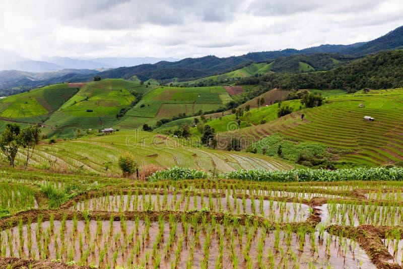 Padievelden op terrasvormig van Pa Pong Pieng, Mae Chaem, Chiang Mai, stock afbeeldingen