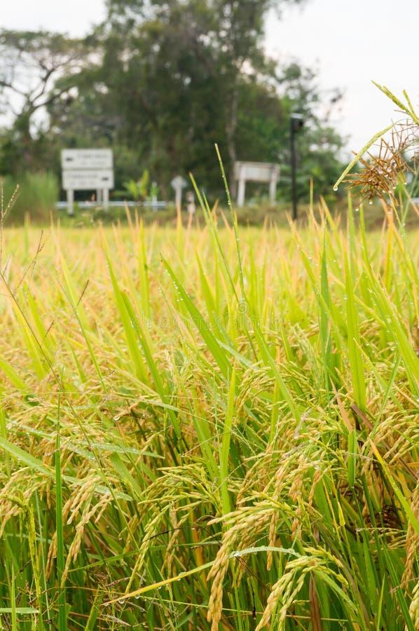 Padievelden of padieveldenstelen van rijst stock fotografie