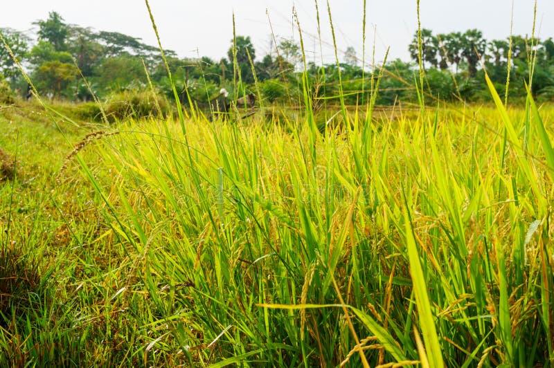 Padievelden of padieveldenstelen van rijst royalty-vrije stock afbeeldingen