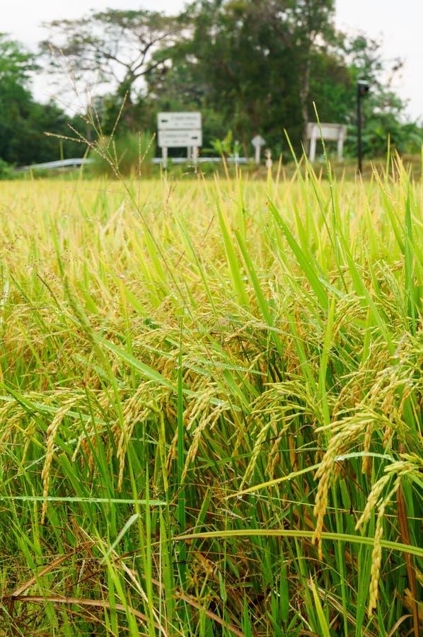 Padievelden of padieveldenstelen van rijst stock afbeelding