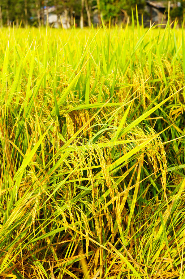 Padievelden of padieveldenstelen van rijst stock foto