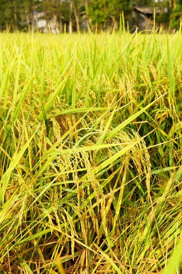 Padievelden of padieveldenstelen van rijst royalty-vrije stock afbeelding