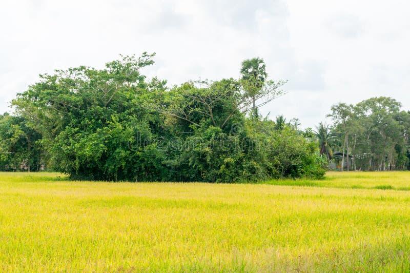 Padievelden of padieveldenstelen van rijst stock afbeeldingen