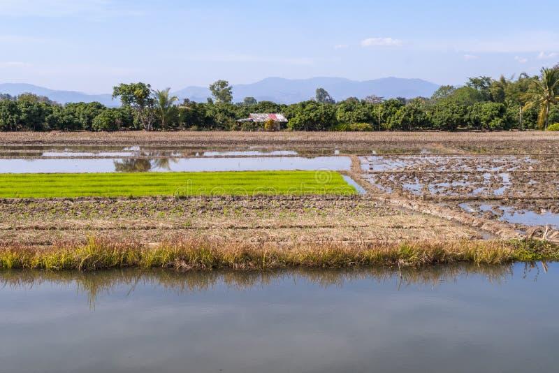 Padievelden, Thailand stock afbeeldingen