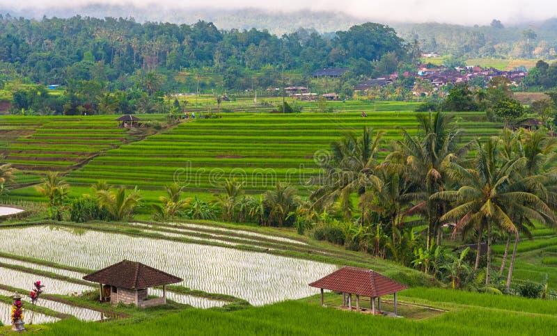 Padievelden van Java Indonesia stock afbeeldingen