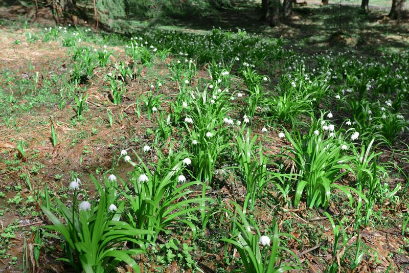 Snowdrops in Padis, Bihor, Apuseni Mountains, Romania. Padis is a superlative of the Apuseni Mountains. In PadiÅŸ there are caves, avenues, gorges, canyons royalty free stock images