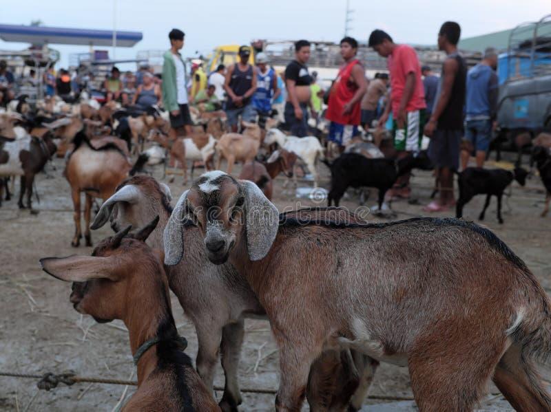 Asian Livestock market scene. Goats for sale in Padre Garcia Livestock Auction Market, Batangas, Philippines. Padre Garcia, Batangas, Philippines - May 03, 2019 stock photos