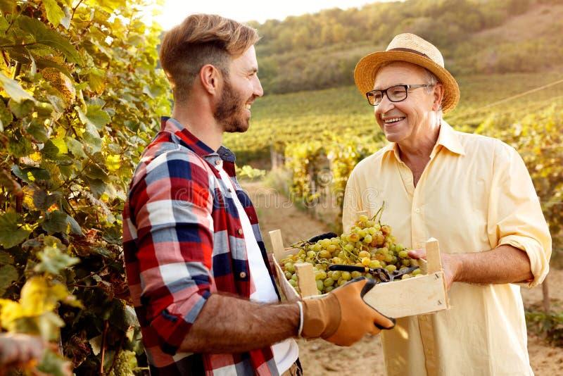 Padre raccolto-sorridente e figlio della giovane uva che lavorano alla vigna immagini stock