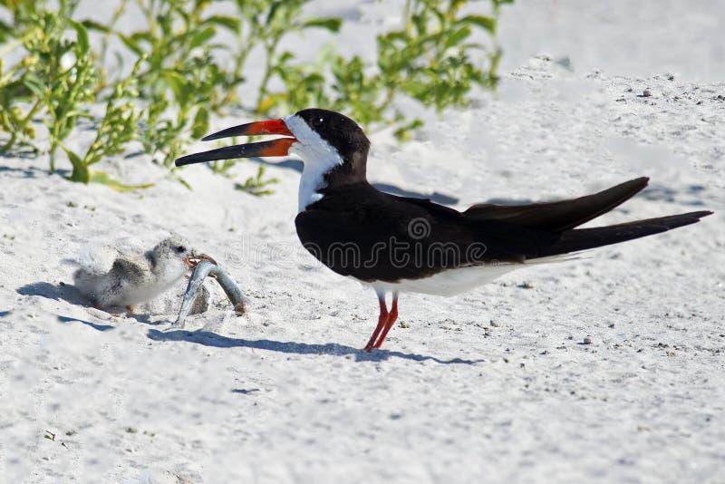 Padre y polluelo negros de la desnatadora con los pescados imagen de archivo libre de regalías