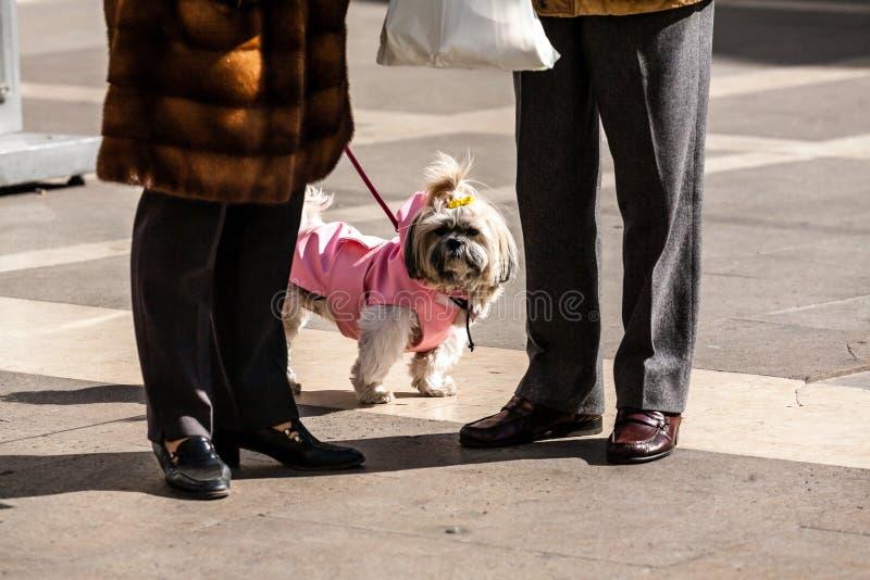 Padua, Italia - 12 de marzo de 2012: Pequeño perro blanco divertido vestido en la ropa rosada que camina con sus dueños imagen de archivo