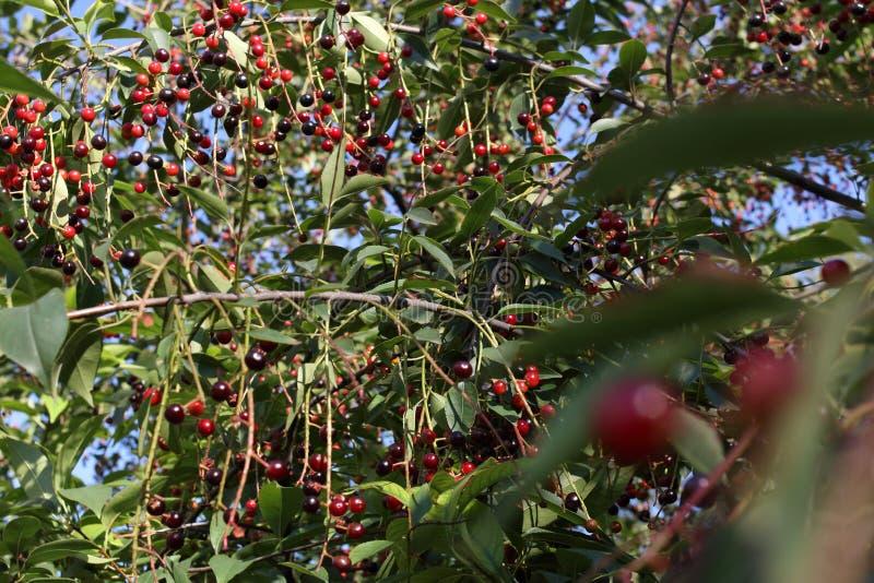 Padus del Prunus también conocido como frutas de la cereza de pájaro en un primer de las ramas fotografía de archivo