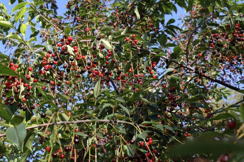 Padus del Prunus también conocido como frutas de la cereza de pájaro en un primer de las ramas fotos de archivo