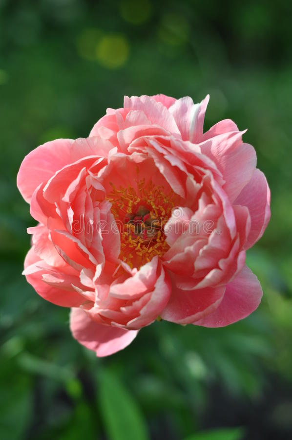 Paeonia 'Coral Supreme' royalty free stock photography