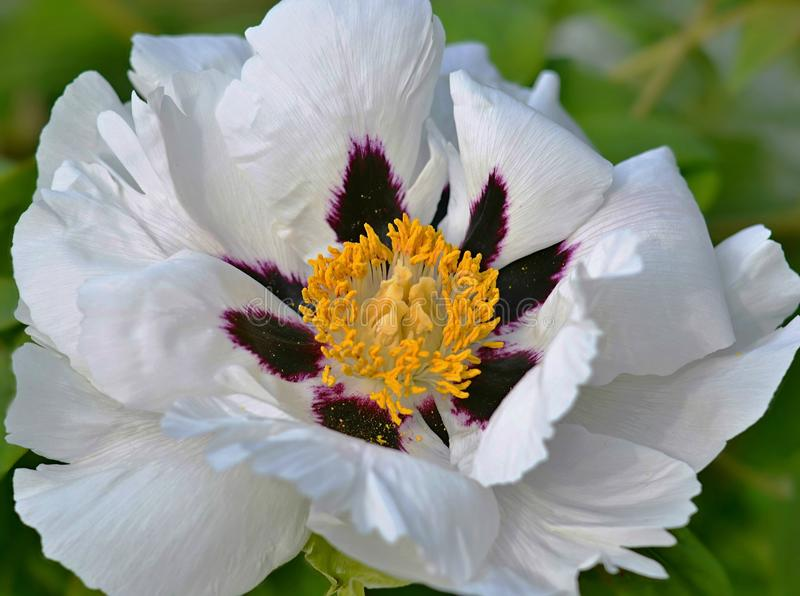 Paeonia arborea Blume lizenzfreies stockbild