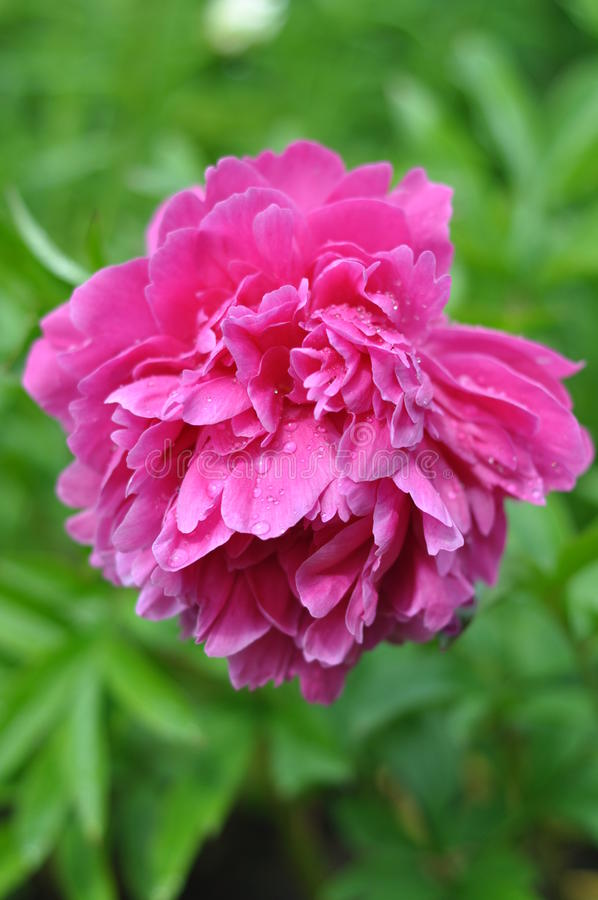 Paeonia `Kansas`. Bigger Myron D., USA, 1940. Hybrid lactiflora. The average time of flowering. The smell is weak stock photography