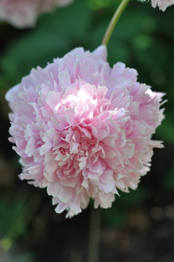 Paeonia lactiflora 'Marie d`Hour' stock photos